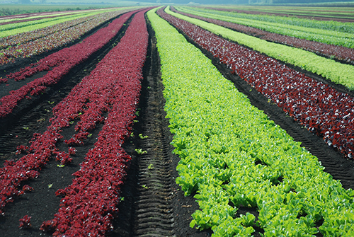 (NEHA's) Certified in Food Safety Supplier Audits (CFSSA) credential: image of fields of red and green lettuce